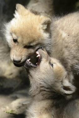 Wolf Nuzzle